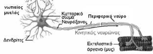 kinitikou_neurona